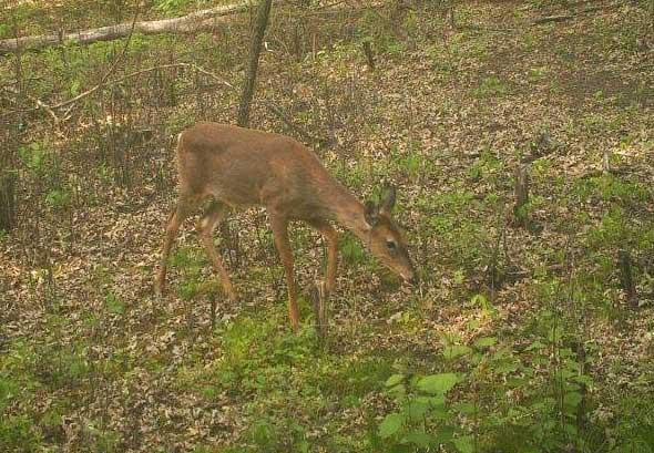 Antlerless deer on a trail camera