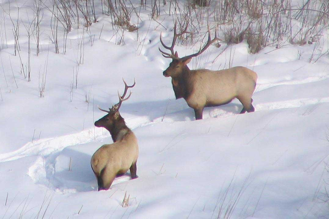 a couple elk in the snow seen from an aircraft