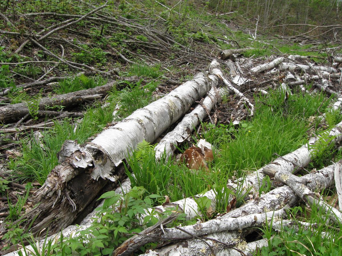 A fawn lies partially hidden by a fallen log.