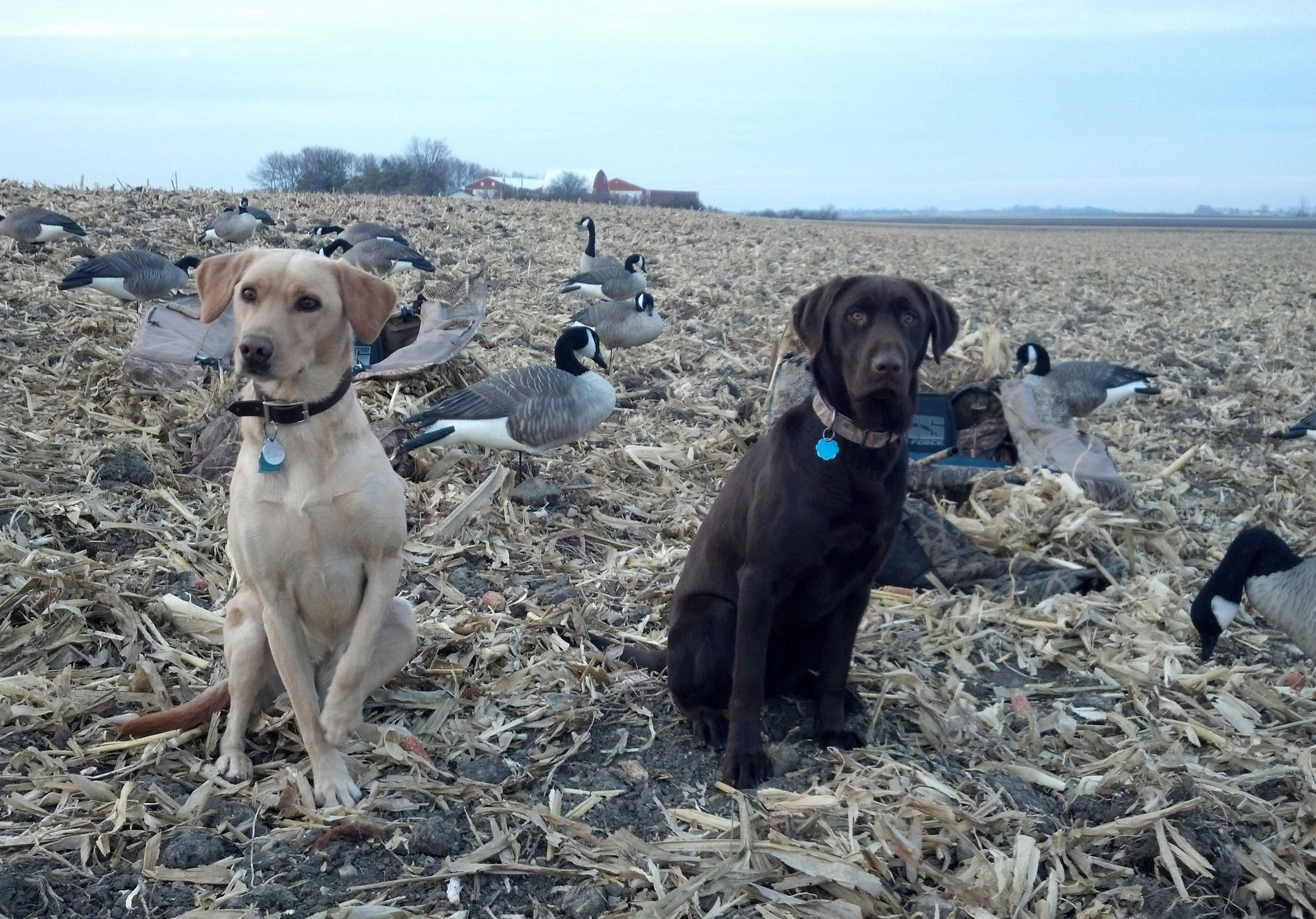 Hunting dogs near Canada goose decoys on a hunt.