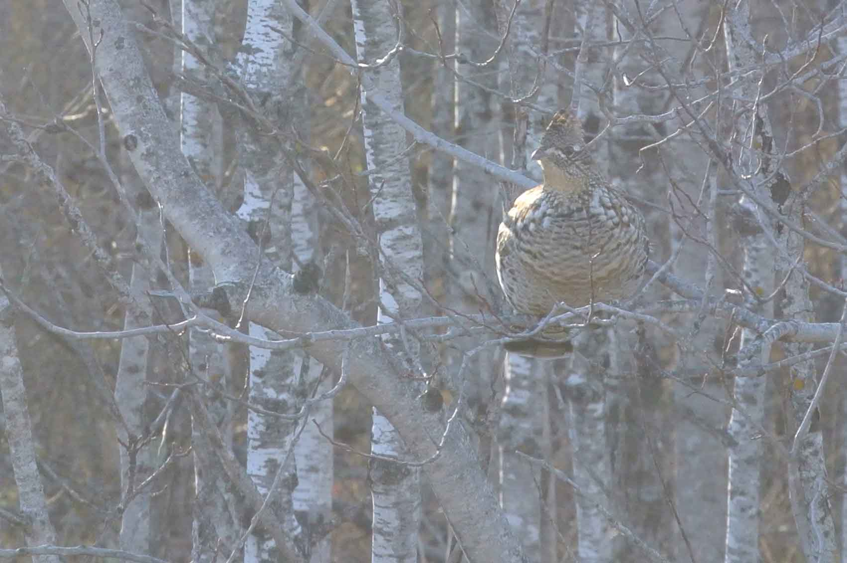 a ruffed grouse in the branches of an aspen tree