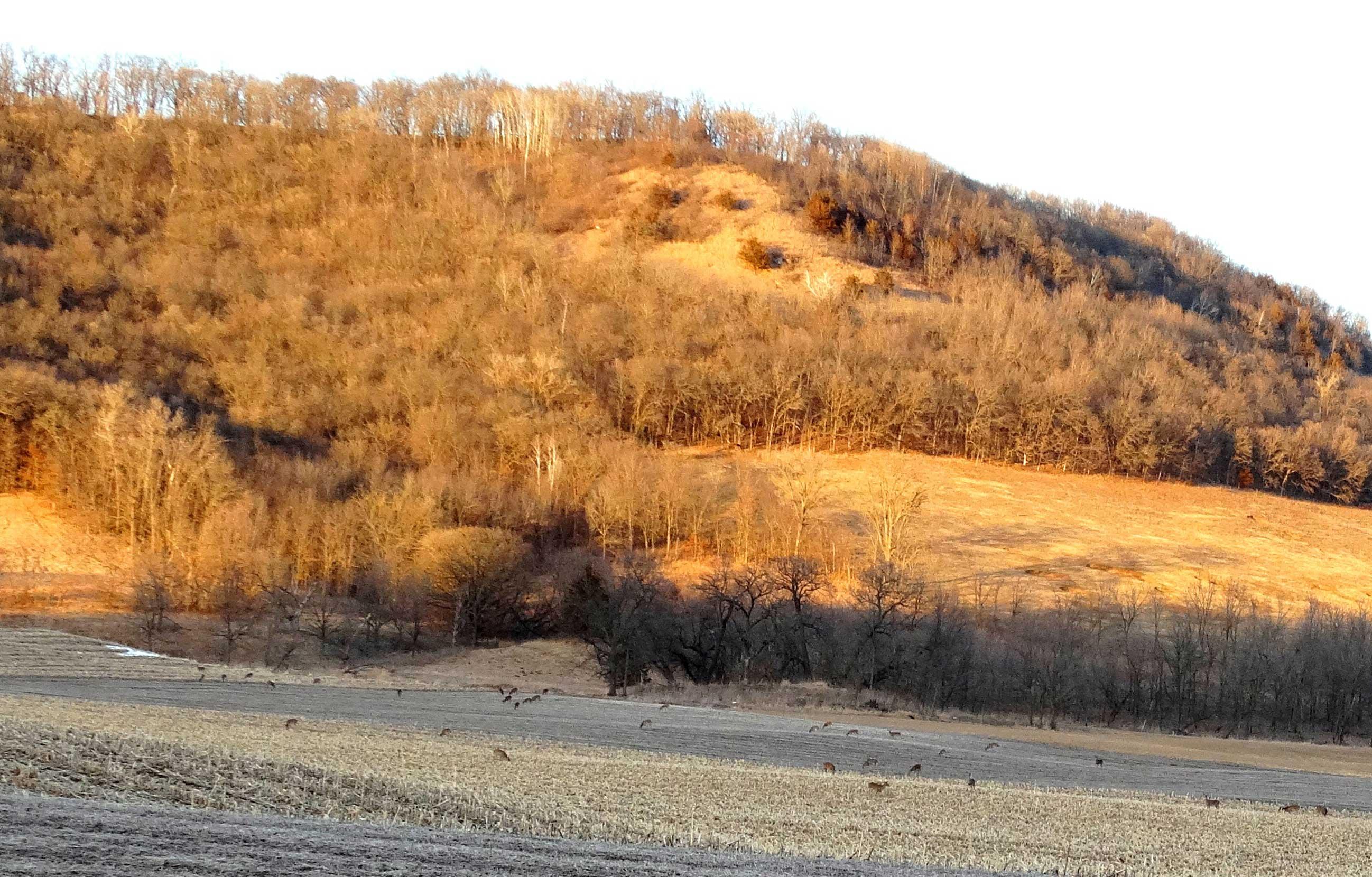 Deer in a field in southeast Minnesota