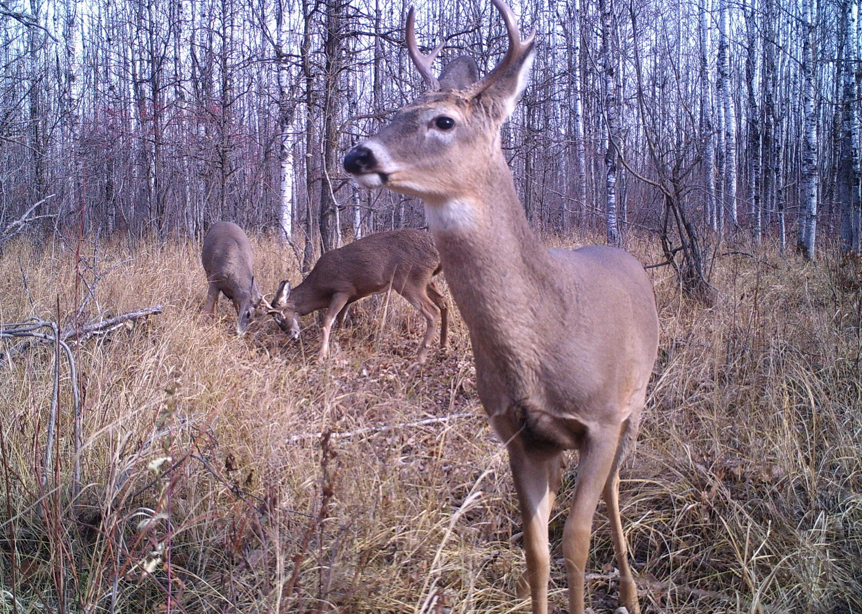 young bucks sparring as seen from a trail camera