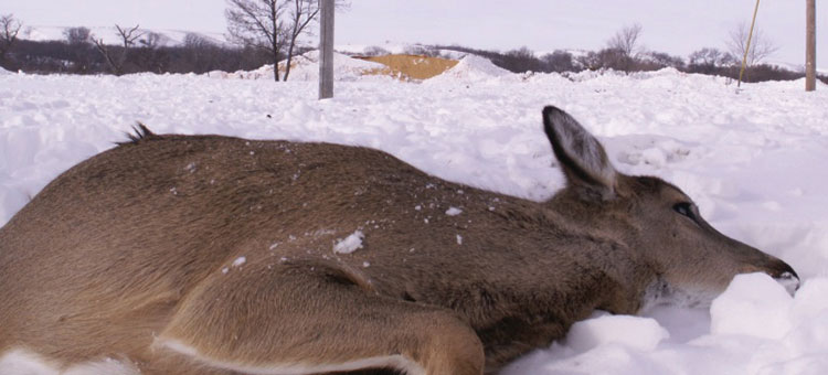Deer that died from eating from a feed pile