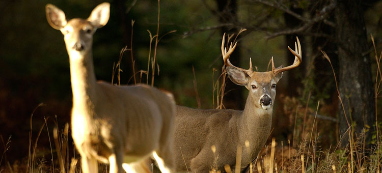 A doe and buck in a field during fall