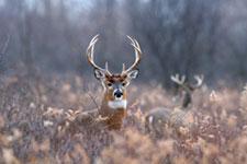 Male white-tailed deer in field