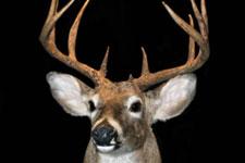 A mounted deer