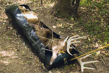 Harvested deer tied on a sled for transport