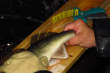 A walleye with tags in place.