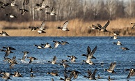 Ducks flying over Aitkin County's Rice Lake