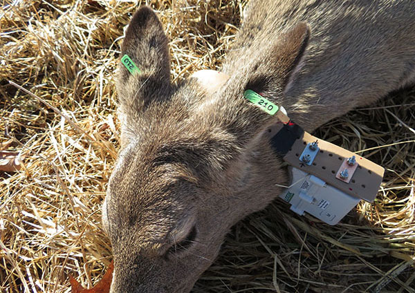 Image of immobilized deer with a GPS collar.