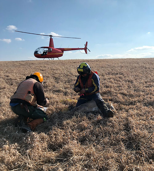 Image of contractors working to collar white-tailed deer in southeast Minnesota.