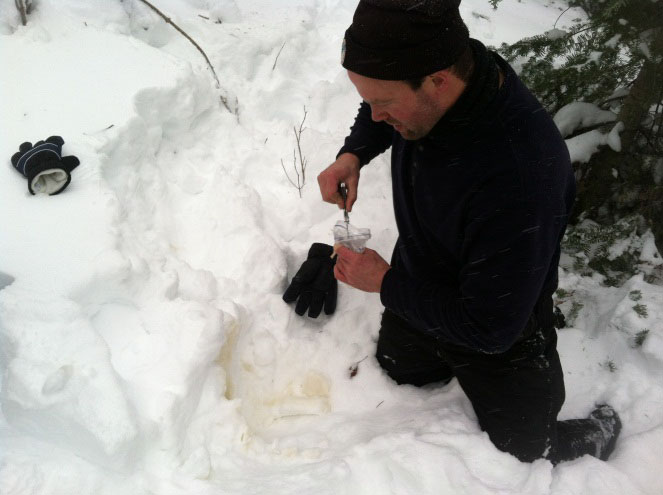 A researcher collects a snow-urine sample in northeastern Minnesota.