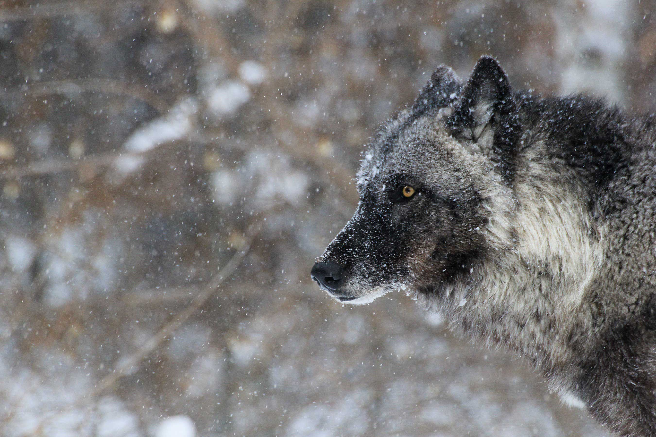 a wolf with snow falling around it
