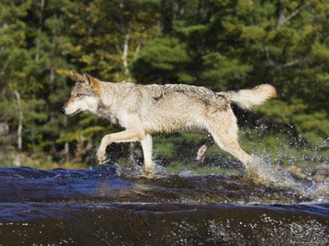 wolf crossing Kettle River