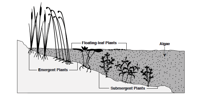 Illustration depicting emergent vegetation, floating-leaf vegetation and submergent vegetation