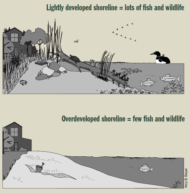 Diagram depicting the postive results of lightly developed shoreline and the negative resuls of overdeveloped shoreline.