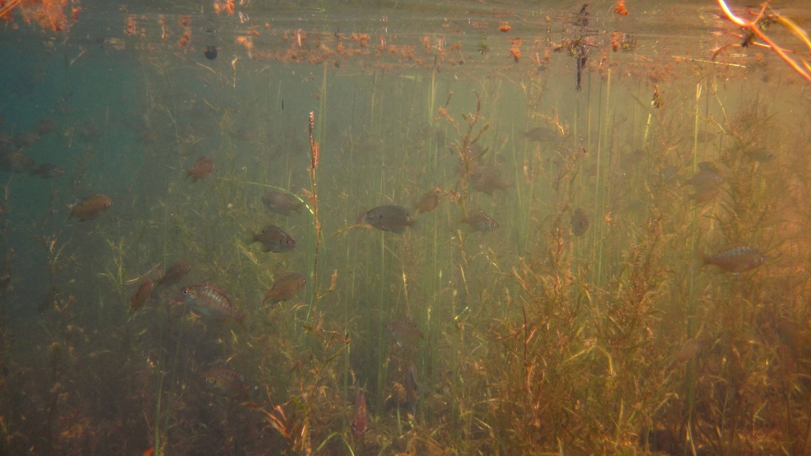 Image of bluegills swimming in an area of submersed aquatic plants.