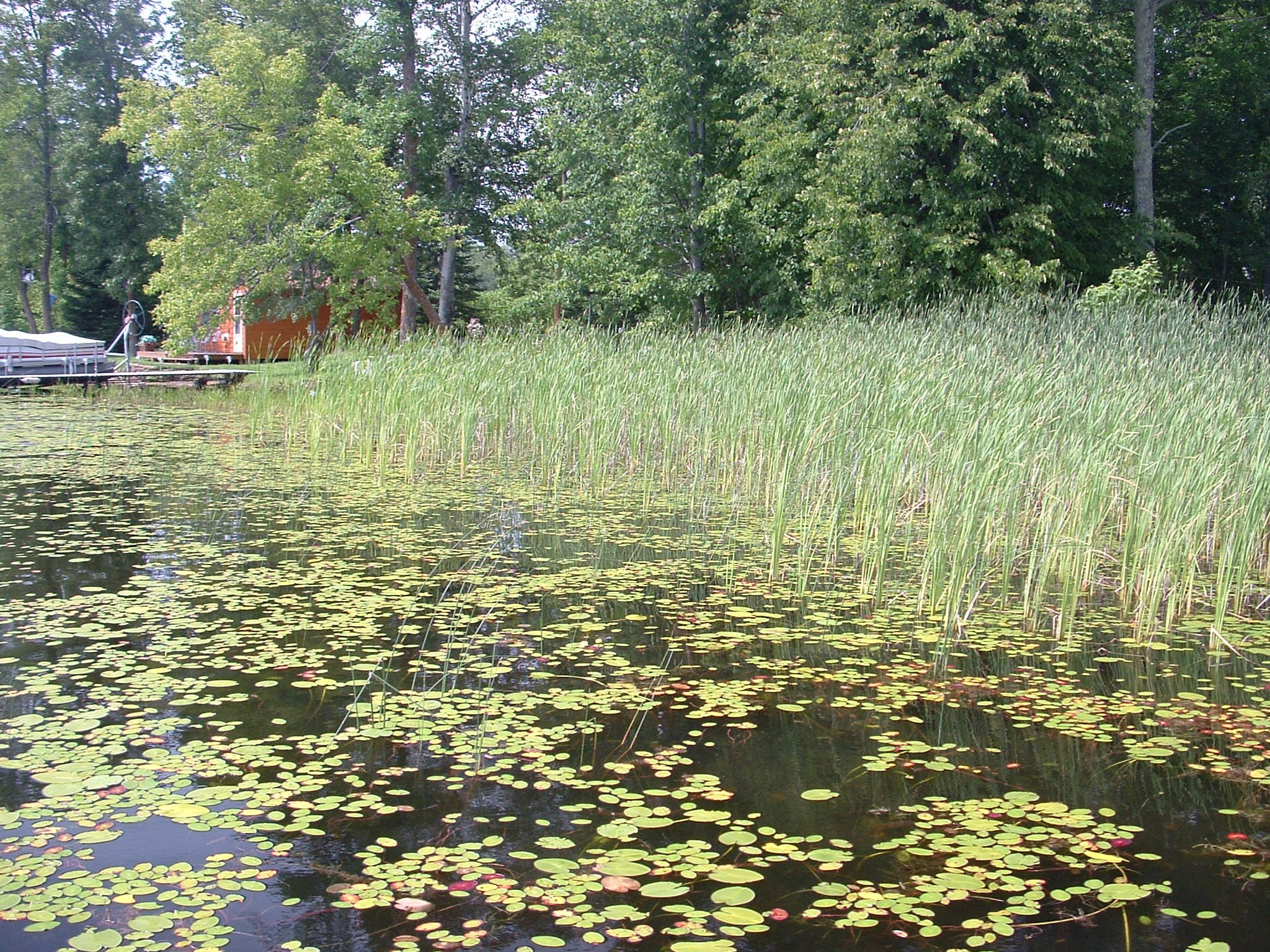 Image showing dense community of lilies and bulrush along a shoreline with a dock and boathouse in background.