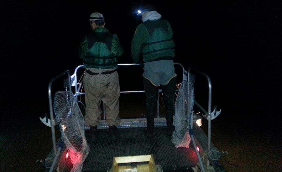 Collecting muskellunge at night from a local lake to estimate the adult population.