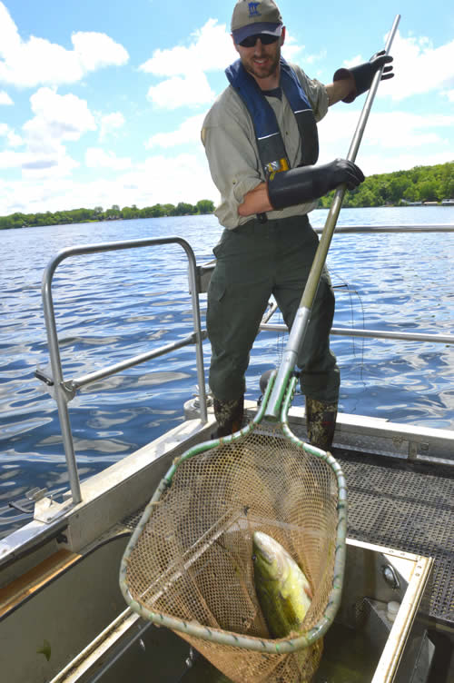 A Waterville area fisheries biologist dips a largemouth bass from Lake Tetonka during a spring electrofishing survey.