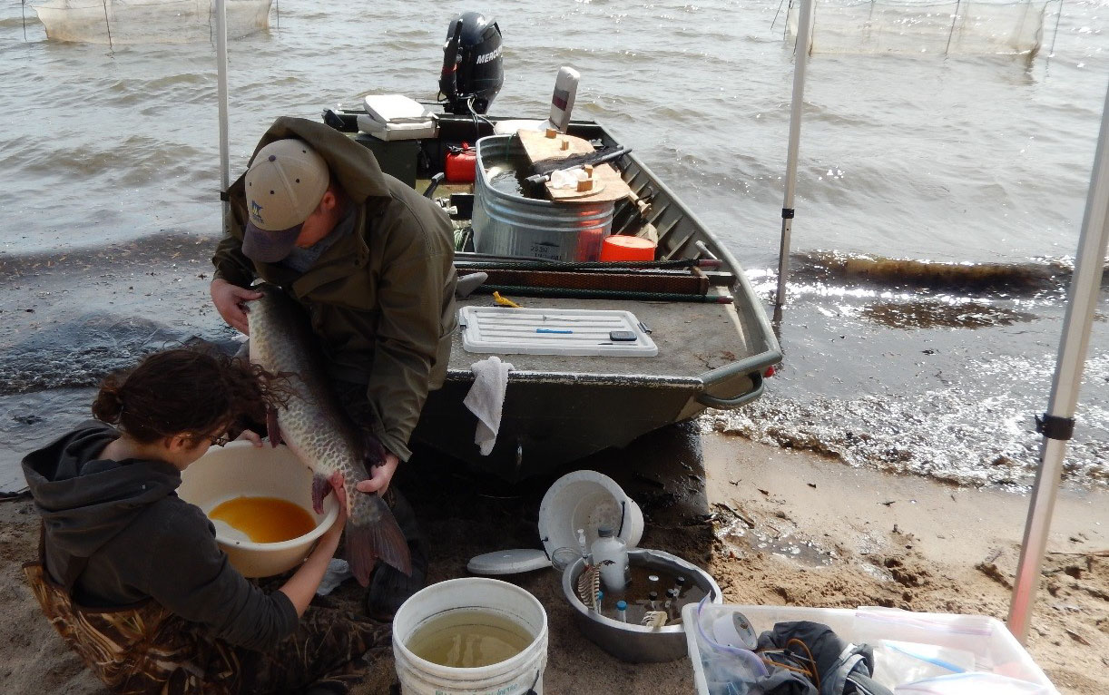 West Metro fisheries staff strip eggs from a female muskellunge for the statewide muskie stocking program.