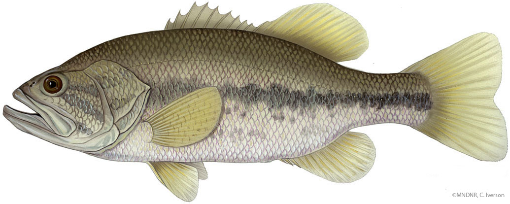 Illustration of a largemouth bass