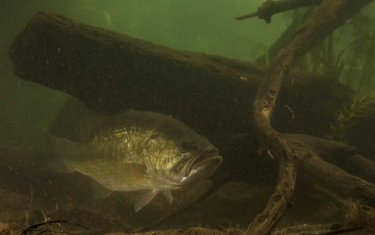 Photo of a largemouth bass seeking cover under a submerged log