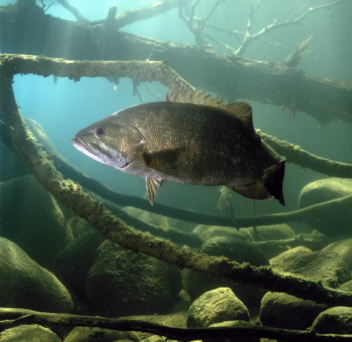 Underwater photo of a smallmouth bass