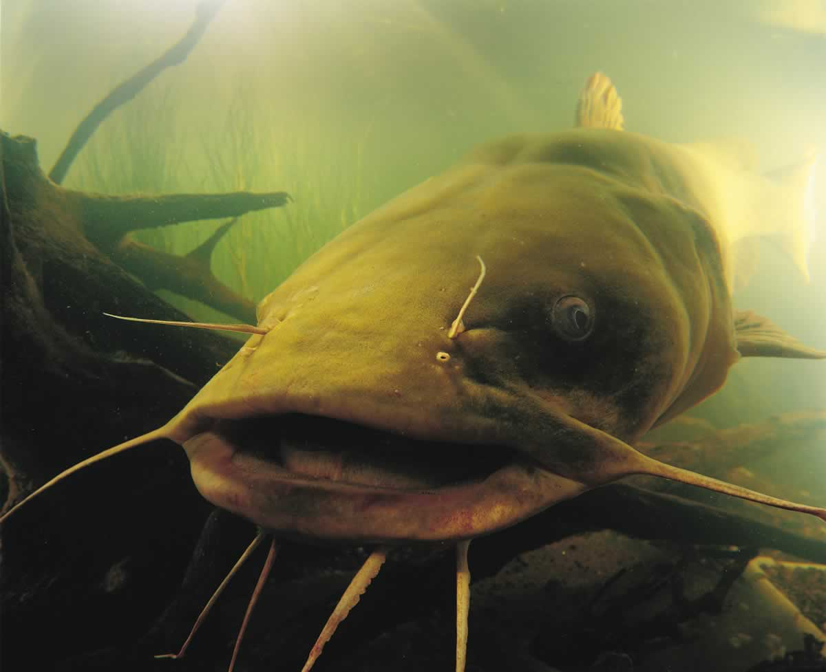 Photo of a flathead catfish