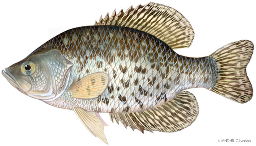 Illustration of a black crappie