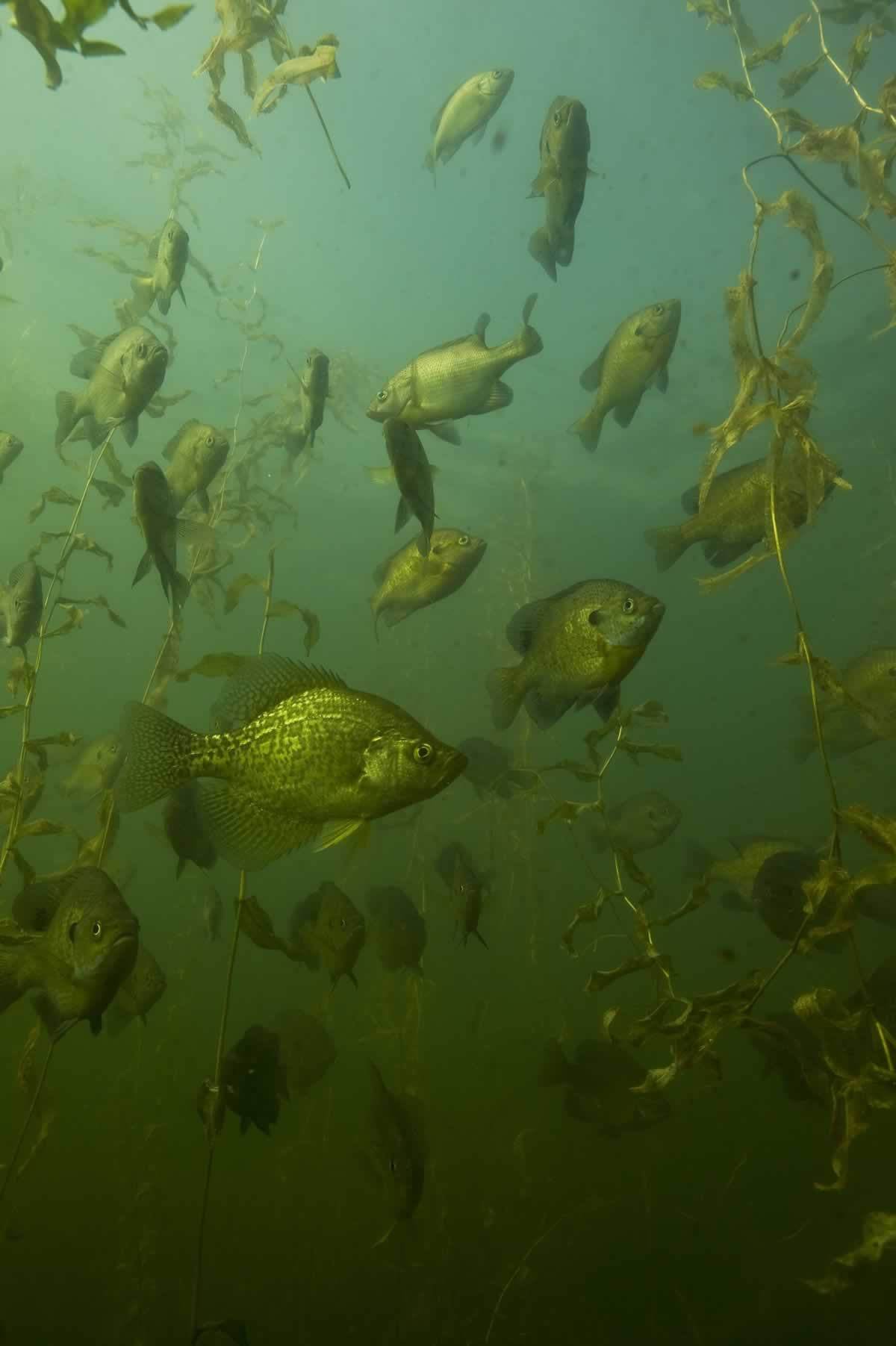 Photo of a school of black crappies