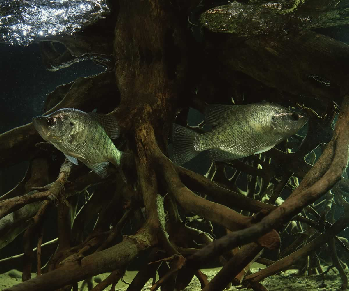 Photo of a two white crappies taking cover in a submerged tree stump