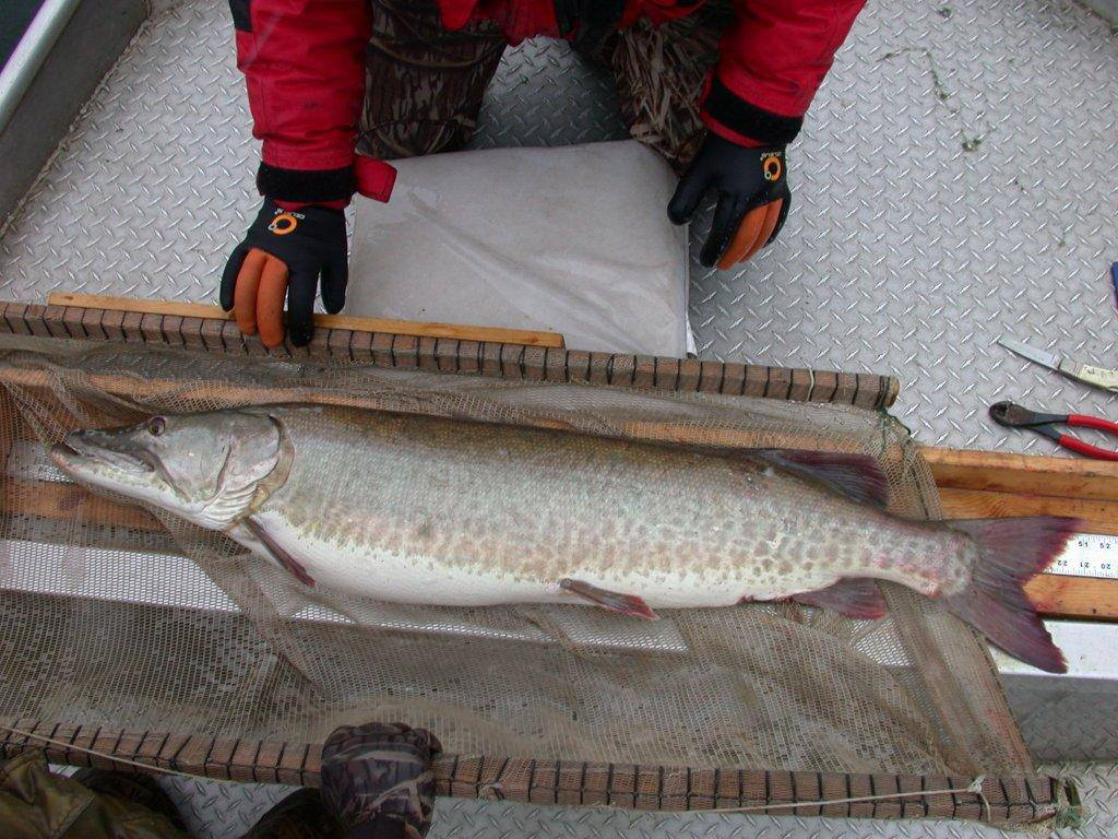 Muskellunge being measured by Minnesota DNR fisheries biologists
