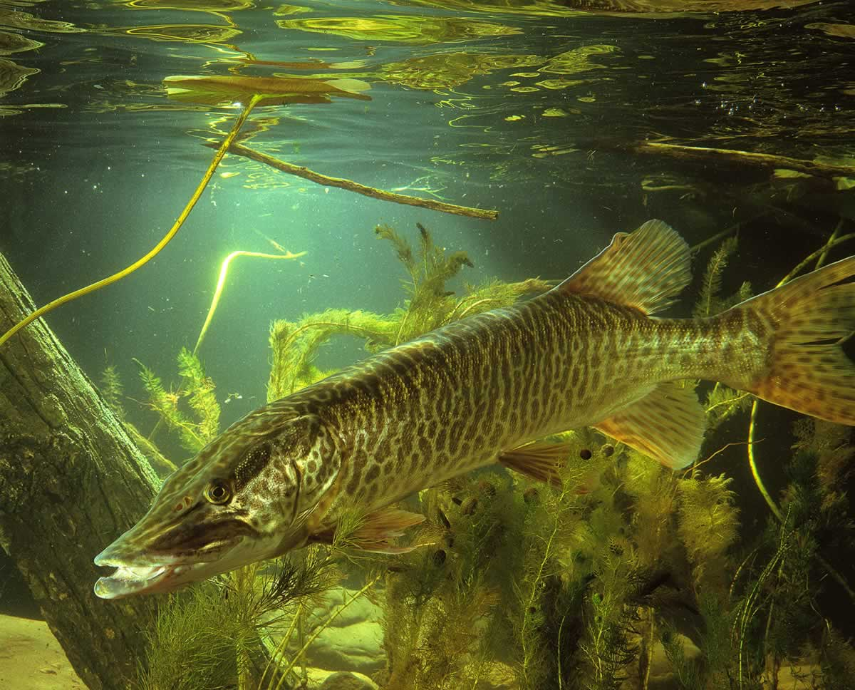 Photo of a tiger muskellunge