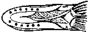 Illustration showing six or more pores under the muskellunge's jaw