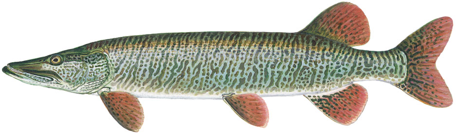 Illustration of a tiger muskellunge