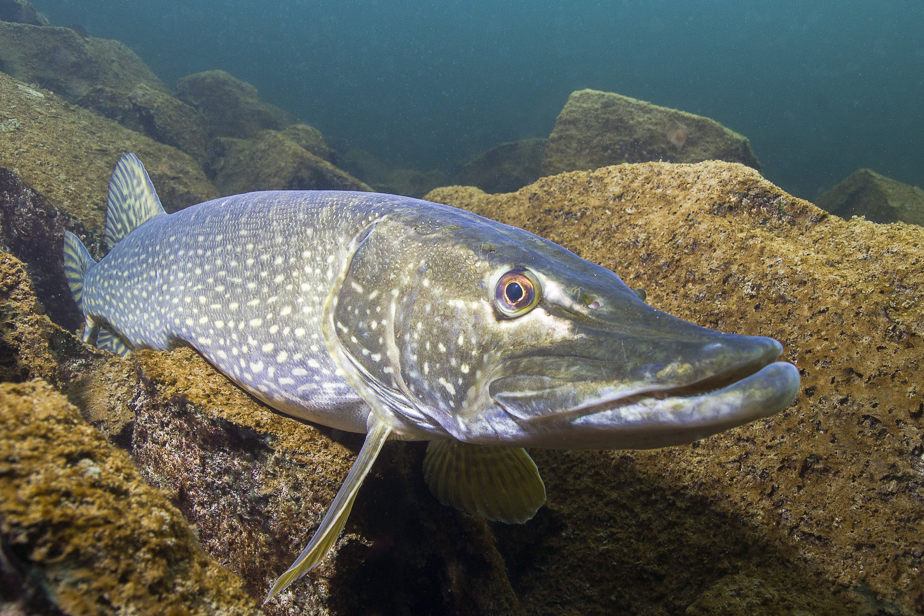 A northern pike resting underwater
