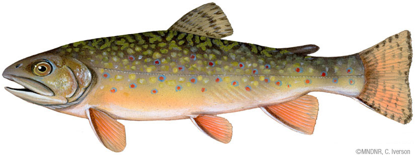 Brokk trout
