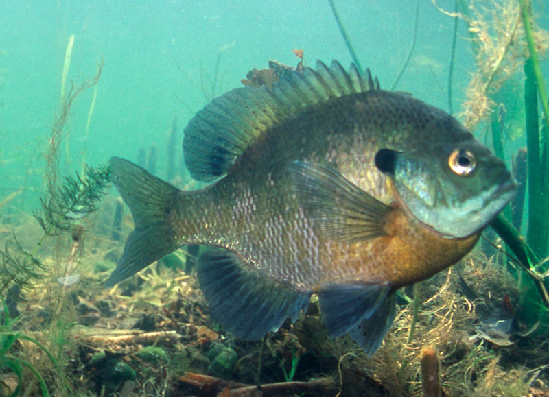 A bluegill swimming in a Minnesota lake