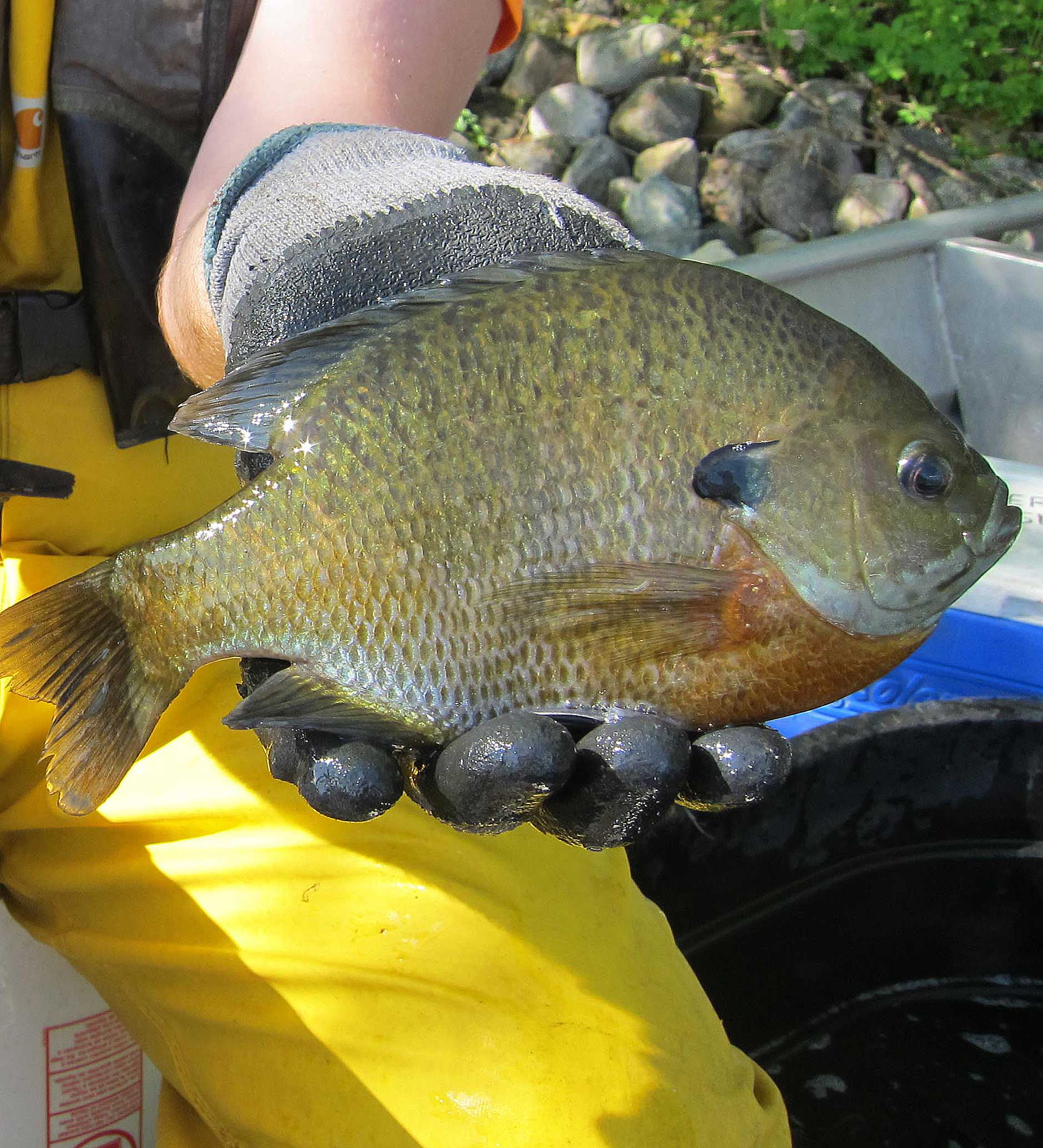 Image of a DNR fisheries staff holding two large sunfish