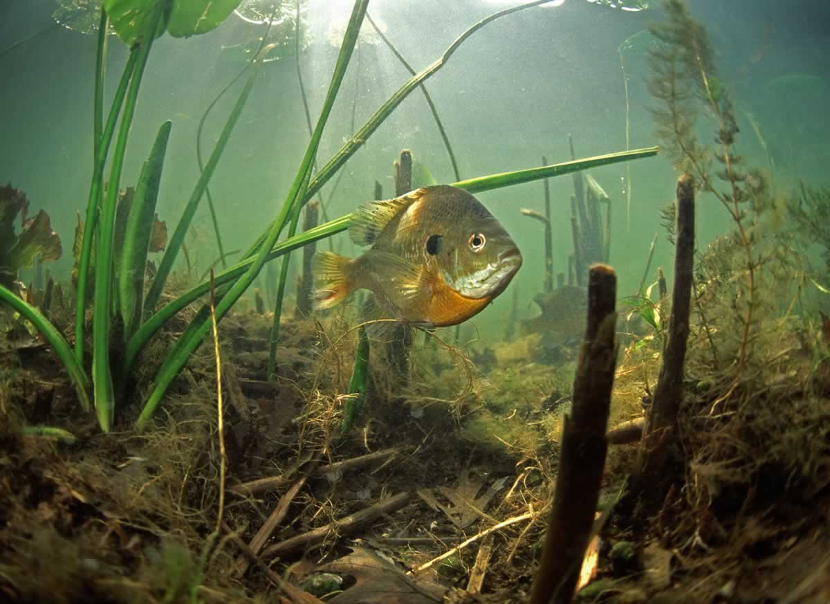 Underwater photo of a bluegill