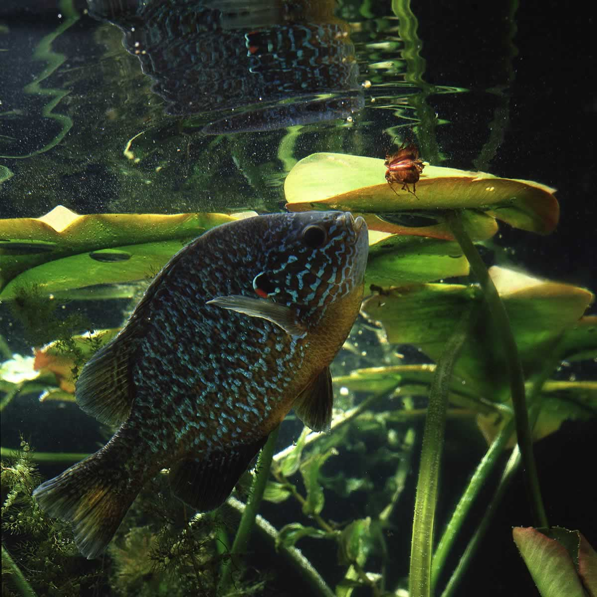 Underwater photo of a pumpkinseed sunfish