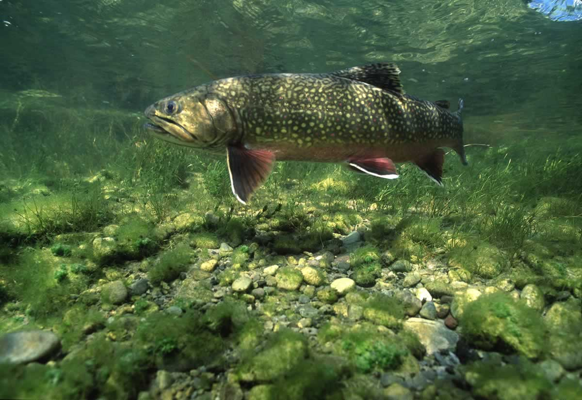 Underwater photo of a brook trout