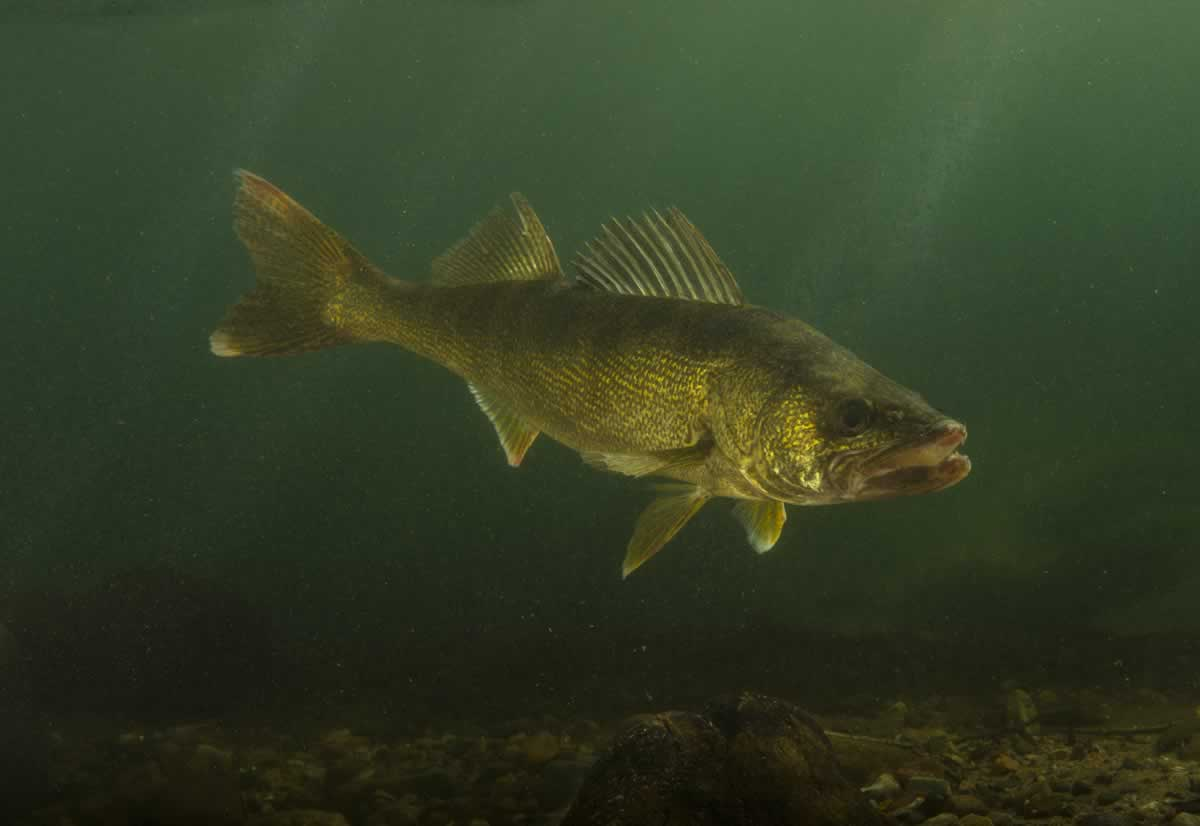Underwater photo of a walleye