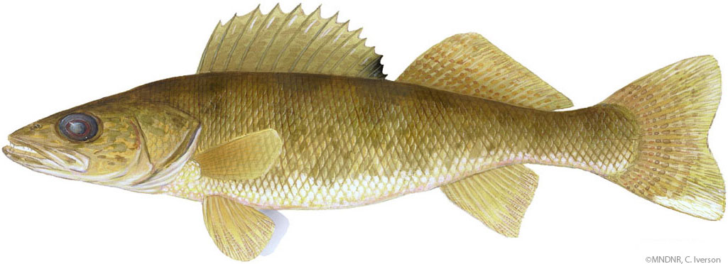 Illustration of a walleye