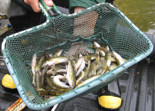Walleye fingerlings from a DNR fish hatchery being stocked
