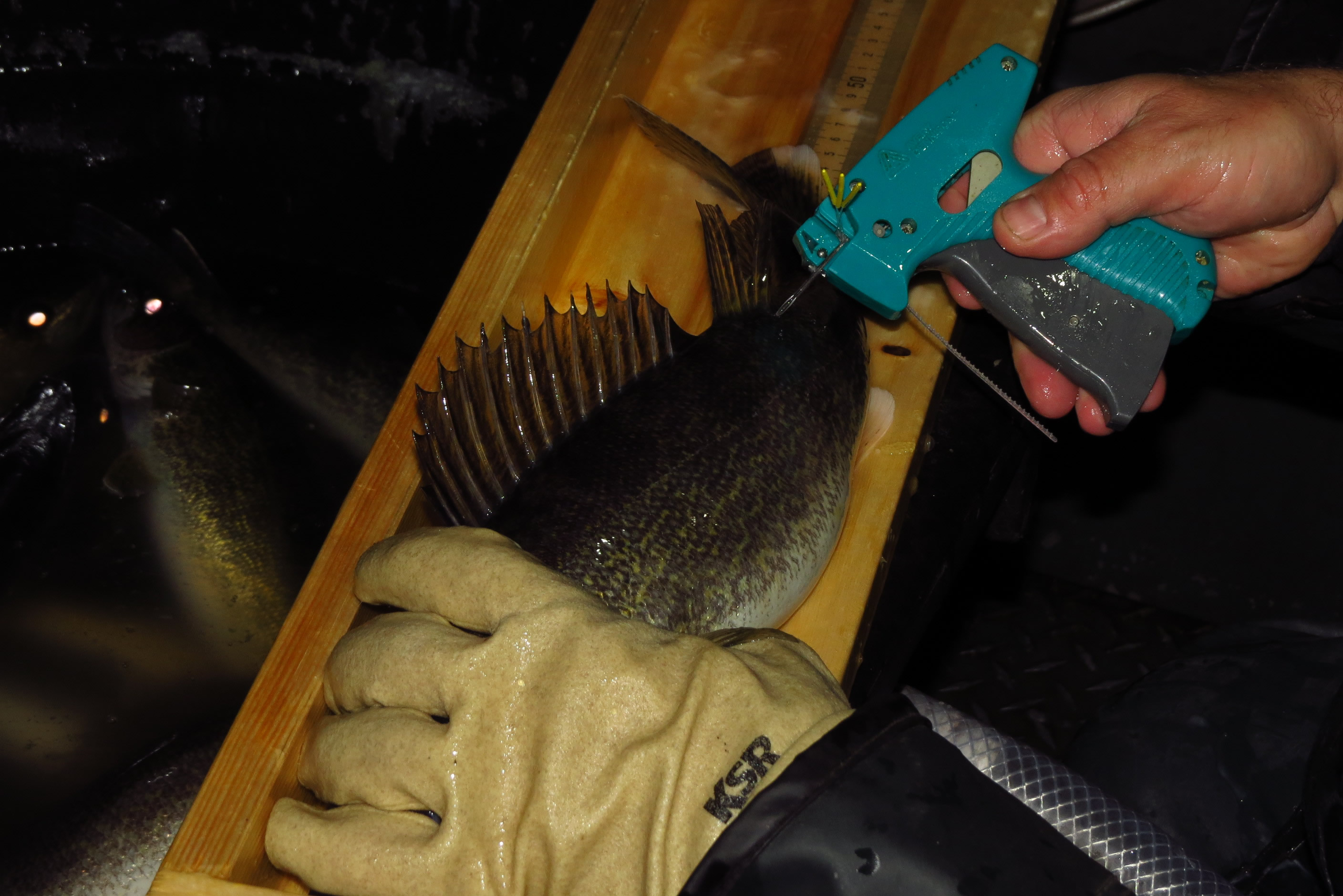 A harmless method is used to attached a tag to this walleye during the 2018 population assessment.