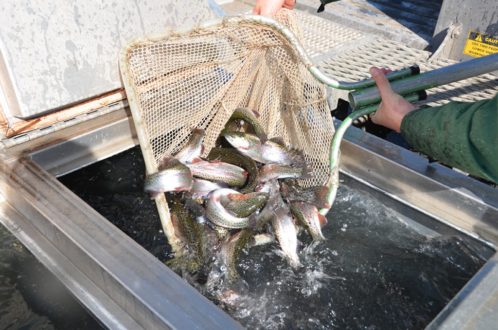 Trout being dipped with a net as they are stocked