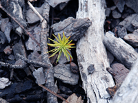 photo: Pine tree Tree sprout